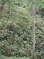 Starr-090601-8697-Montanoa hibiscifolia-hillside-Ulupalakua-Maui (24330333384).jpg
