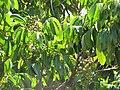 Starr-090721-3287-Dimocarpus longan-fruit and leaves-Wailuku-Maui (24944209826).jpg