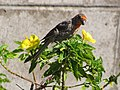 Starr-090806-4009-Turnera ulmifolia-flowering habit with house finch foraging-Kahului-Maui (24945433316).jpg