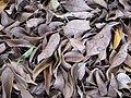 Starr-110209-0905-Ficus benjamina-leaves on ground-Resort Management Group Nursery Kihei-Maui (24444236594).jpg