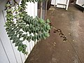 Starr-110218-1563-Crassula perforata-flowering habit-Ulana St Makawao-Maui (25050393766).jpg
