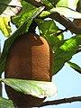 Starr-110330-4076-Theobroma grandiflorum-fruit-Garden of Eden Keanae-Maui (25081202675).jpg