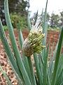 Starr-110411-4977-Allium fistulosum-flowers emerging-Hawea Pl Olinda-Maui (25082567665).jpg