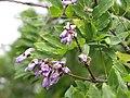 Starr-110609-6199-Gliricidia sepium-flowers and leaves-Shibuya Farm Kula-Maui (24469593703).jpg