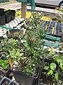 Starr-110621-6250-Vaccinium hybrid-Southern highbush cv Sunshine potted plant-Hawea Pl Olinda-Maui (25003955341).jpg