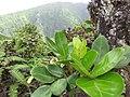 Starr-110722-7664-Polyscias oahuensis-leaves-Waihee Ridge Trail-Maui (25075126296).jpg