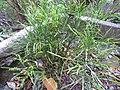 Starr-120229-3147-Psilotum nudum-habit-Waikapu Valley-Maui (24505921244).jpg
