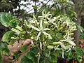 Starr-130312-2435-Murraya koenigii-flowers-Pali o Waipio Huelo-Maui (25207325765).jpg
