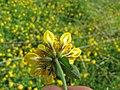 Starr-130605-4716-Lotus uliginosus-flowers showing calyxs-Olinda-Maui (25118346321).jpg