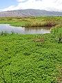 Starr-130617-5117-Bacopa monnieri-habit-Kealia Pond NWR-Maui (24844734239).jpg