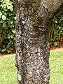 Starr-140222-0400-Colvillea racemosa-trunk-Hana-Maui (25122398392).jpg