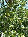 Starr-150401-0313-Calophyllum inophyllum-habit-West Beach Sand Island-Midway Atoll (24645874213).jpg