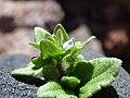 Starr-151106-0468-Veronica arvensis-flower and leaves-Science City-Maui (26217675591).jpg