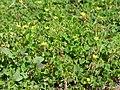 Starr-170224-0928-Oxalis corniculata-flowering habit-Hawea Pl Olinda-Maui (32998483500).jpg
