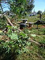 Starr-170616-0468-Solanum torvum-small plant-Community Garden Sand Island-Midway Atoll (36192353882).jpg