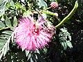 Starr 030702-0071 Calliandra haematocephala.jpg