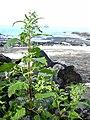 Starr 040410-0037 Chenopodium murale.jpg