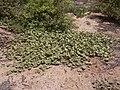 Starr 040613-0023 Solanum nelsonii.jpg