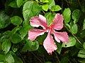 Starr 050107-2961 Hibiscus rosa-sinensis.jpg