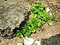 Starr 050418-6431 Boerhavia repens.jpg