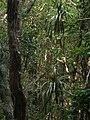 Starr 051113-5229 Freycinetia arborea.jpg