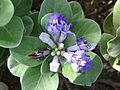 Starr 061129-1715 Vitex rotundifolia.jpg