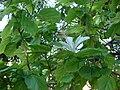 Starr 061231-3057 Hibiscus arnottianus subsp. immaculatus.jpg