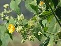 Starr 070215-4593 Abutilon grandifolium.jpg