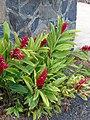 Starr 070302-4928 Alpinia purpurata.jpg