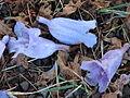 Starr 070519-7140 Jacaranda mimosifolia.jpg