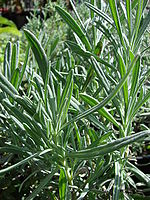 Lavandula x intermedia leaves