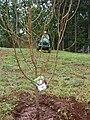 Starr 080302-3155 Prunus persica.jpg