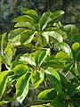 Starr 080601-5147 Schefflera actinophylla.jpg