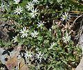 Stellaria ruscifolia (Mount Shirouma).JPG
