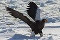 Steller's Sea-Eagle - Hokkaido - Japan.jpg