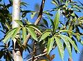 Sterculia murex, volgroeide blare, Jan Celliers Park.jpg