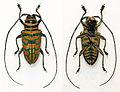 Sternotomis bohemani ferretti (10841554096).jpg