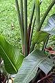 Strelitzia nicolai 17zz.jpg