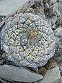 Strombocactus disciformis - Pena Blanca.jpg