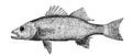 Study of Fishes-Fig 4.png