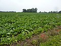 Sugar beet field with late poppies (geograph 2080465).jpg