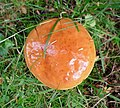Suillus luteus . Slippery Jack - Flickr - gailhampshire.jpg