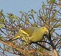 Sumba Green-Pigeon (8074112471) (cropped).jpg