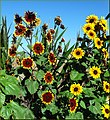 Sunflowers Patch (10386518905).jpg