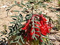 Sutherlandia frutescens PICT3649.JPG