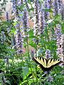 Swallowtail (2700351044).jpg