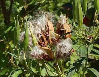 Asclepias incarnata - Image: Swamp Milkweed Asclepias incarnata 'Ice Ballet' Open Pods