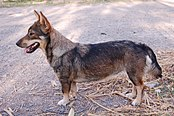 Swedish Vallhund.jpg