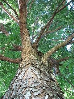 <i>Swietenia humilis</i> species of plant