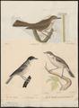 Sylvia orpheus - 1700-1880 - Print - Iconographia Zoologica - Special Collections University of Amsterdam - UBA01 IZ16200167.tif